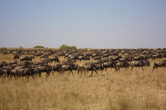 Wildebeest migration, Maasai Mara
