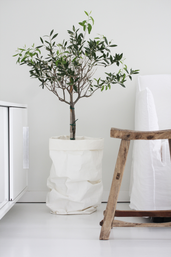 indoor olive trees honestly wtf